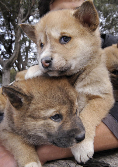 Fossil records lead researchers to believe that the dingo arrived in Australia from Southeast Asia about 5,000 years ago. Dingoes were one of the first large placental mammalian predators to inhabit the continent.