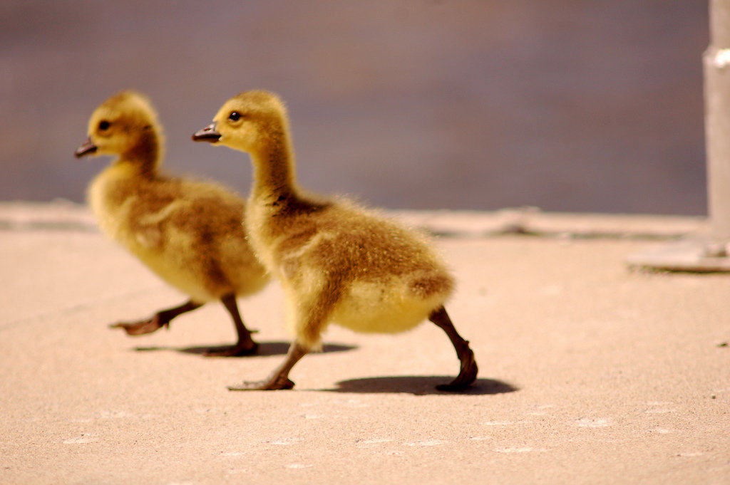 These baby geese hightail it into Spring. Source: Flickr User theseanster93