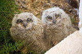Great horned owl chicks are all eyes for Springtime. Source: Flickr User kretyen