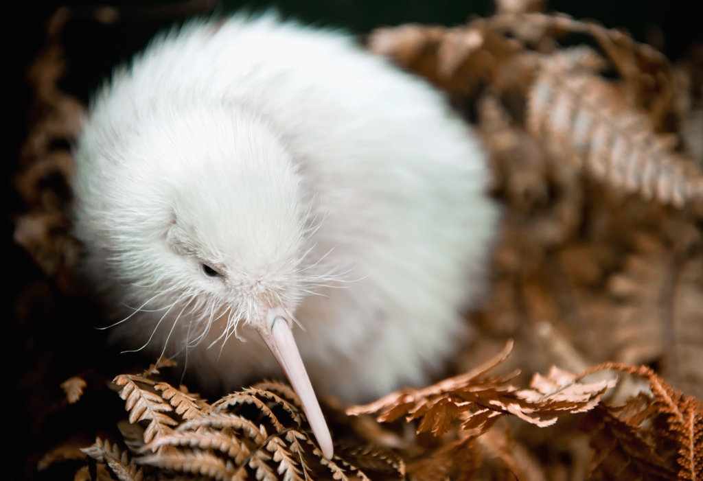 This rare white kiwi chick may be the first born in captivity — a special Spring baby! Source: Getty