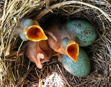 Day-old song thrushes and their candy-blue eggs are the picture of Spring perfection. Source: Getty
