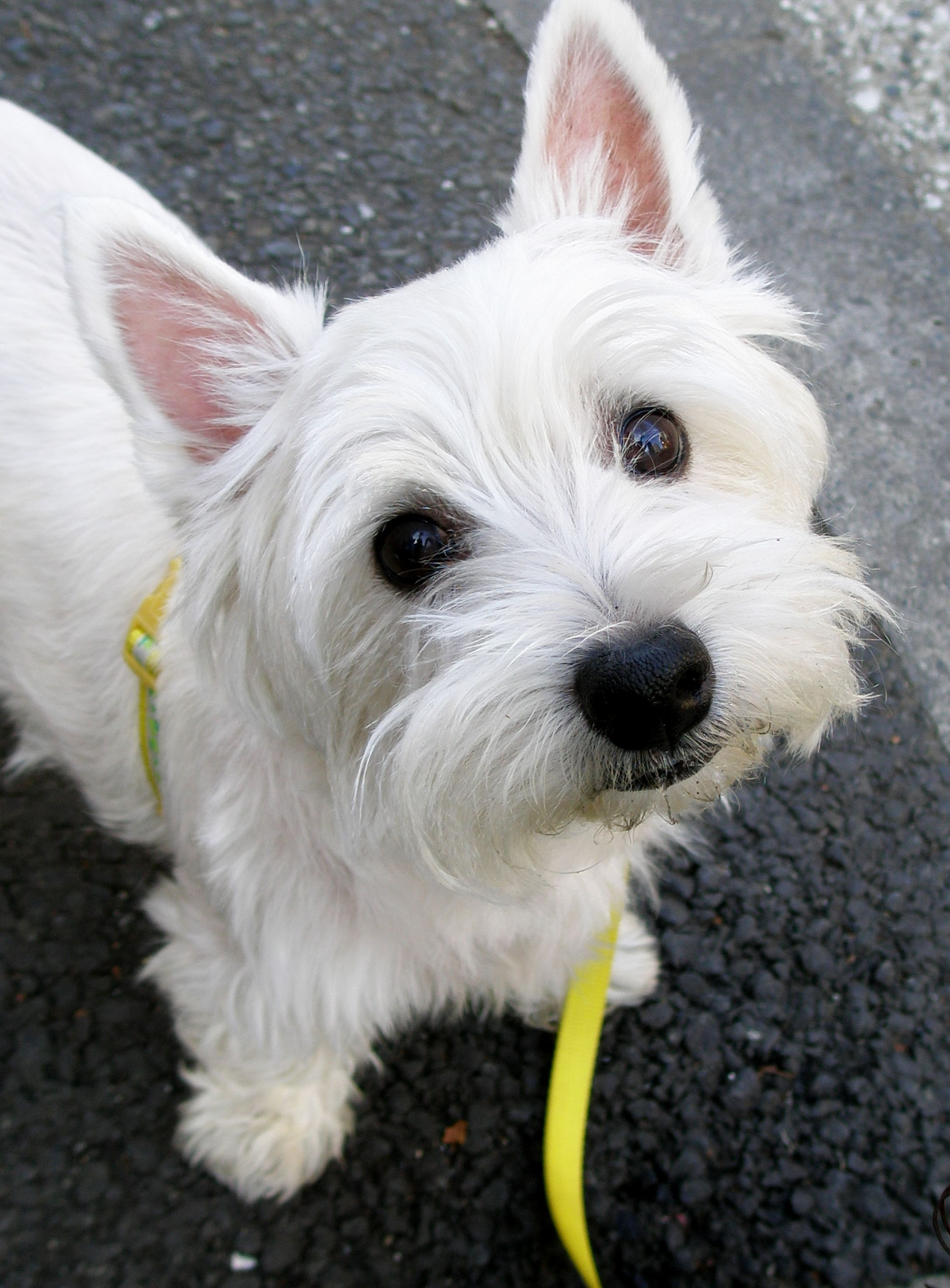 west highland white terrier 47 hypoallergenic dog and