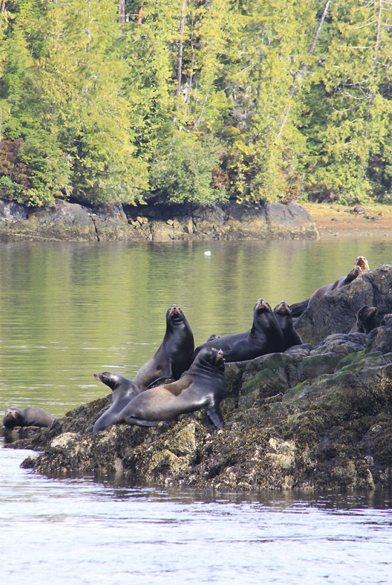 Sea Lions, Tofino, BC