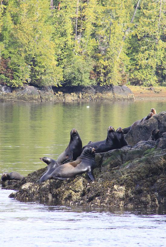 Sea Lions, Tofino, BC