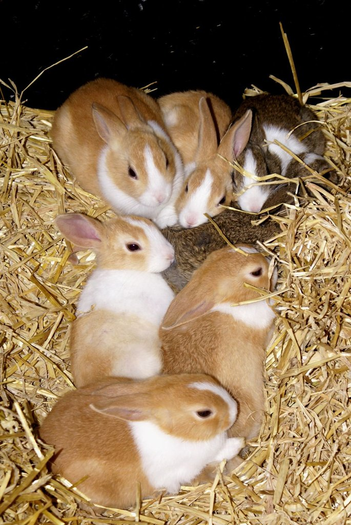 Thanks to their prolific fertility, rabbits have long symbolized Spring, a season of rebirth. Source: Flickr User Martin Pettitt