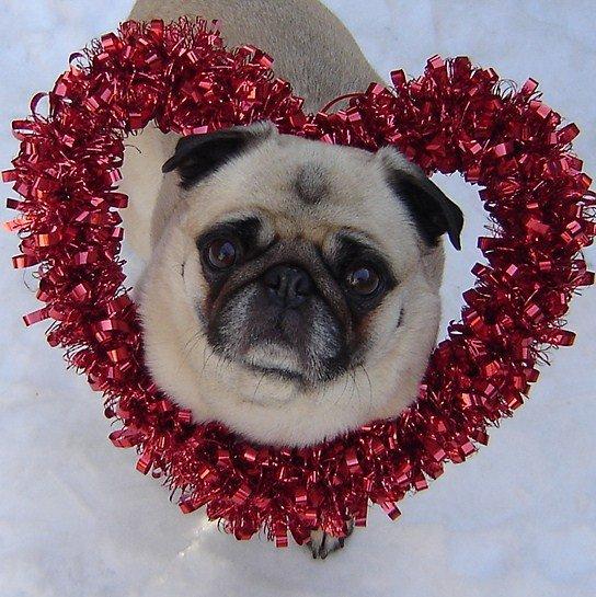 Pug Valentine