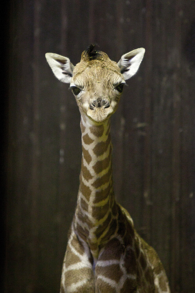 The full-grown giraffe's neck is over 6 feet tall alone. The animal has the same number of cervical vertebrae as a human, so the neck bones are just very long.