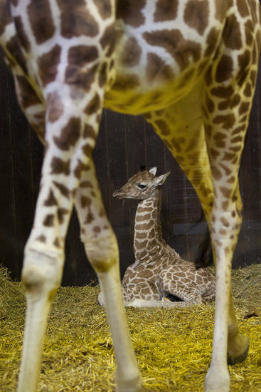 Giraffes require only 4.6 hours of sleep per day, and much of that is fragmented, especially among animals in the wild.
