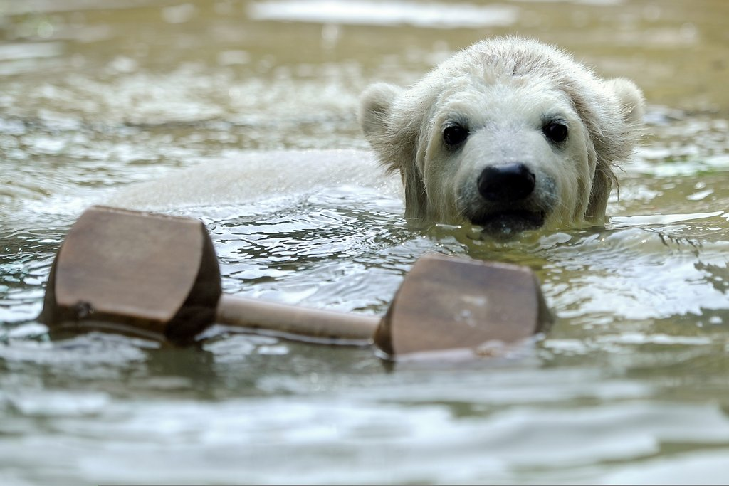 Born Jan. 4, Anori is Knut's half brother and spends his days swimming at Wuppertal Zoo in Germany.