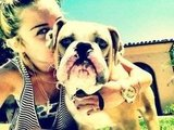 Miley Cyrus gave her fiancé Liam Hemsworth Ziggy the Bulldog for his 22nd birthday in January 2012. Source: Twitter user MileyCyrus