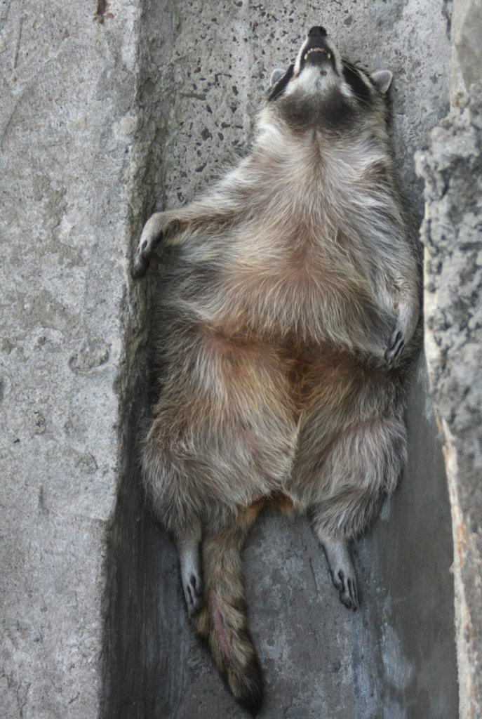 This raccoon finds solace in low places, sprawling out in a ditch at the zoo in Moscow.