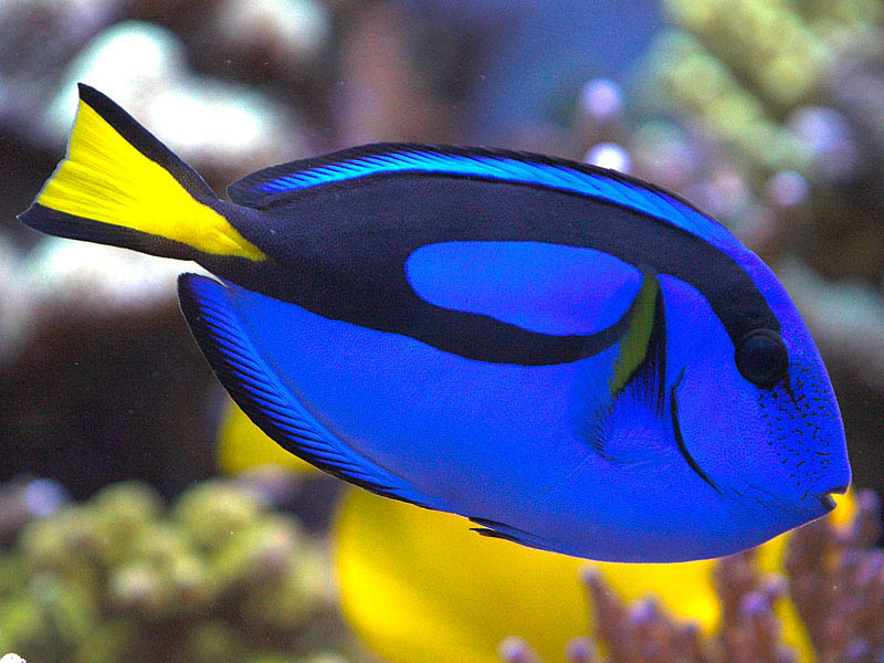 I was trying to do a more  Pacific Blue Tang Dory