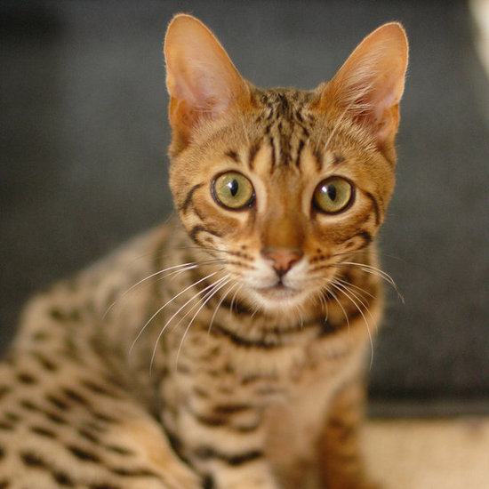Call of the Wild: Bengal Cats