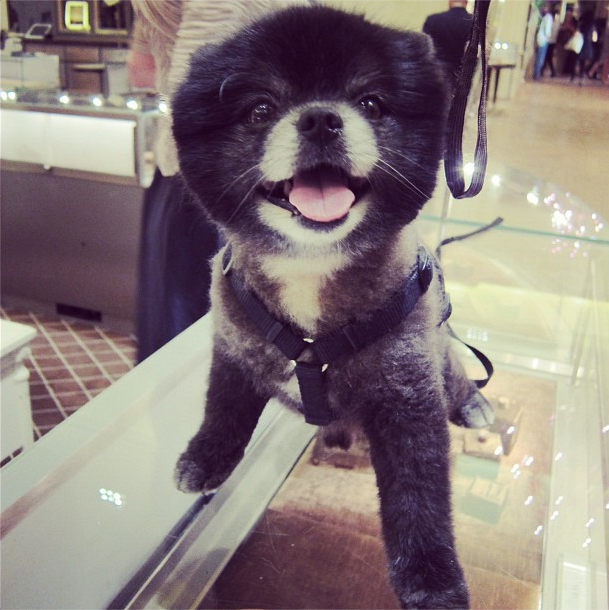 Pomeranian perfection at Bergdorfs