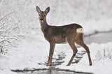 Winter Roe Deer