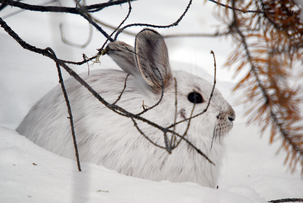 Winter Snowshoe Hare