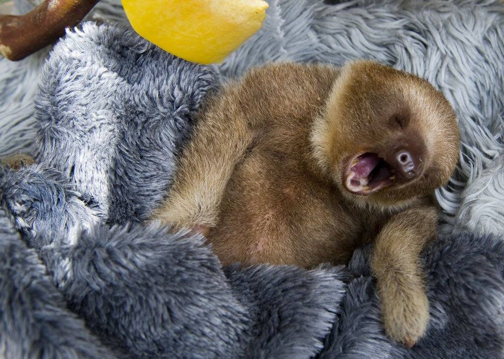 Yawn! This baby two-toed sloth at Aiunau Foundation in Caldas, Colombia, settles into his comfy, furry bed.