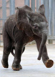 Rungwe is the first baby elephant born from artificial insemination in France and takes her first strides at a run — not bad for a newborn!