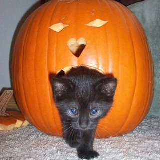 Pictures of Cats Enjoying Pumpkins