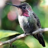 Facts About Hummingbirds on National Hummingbird Day | Birds