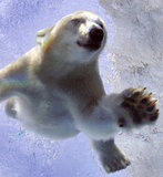 This polar bear cub gave the camera a grin as he enjoyed a plunge in his pool.