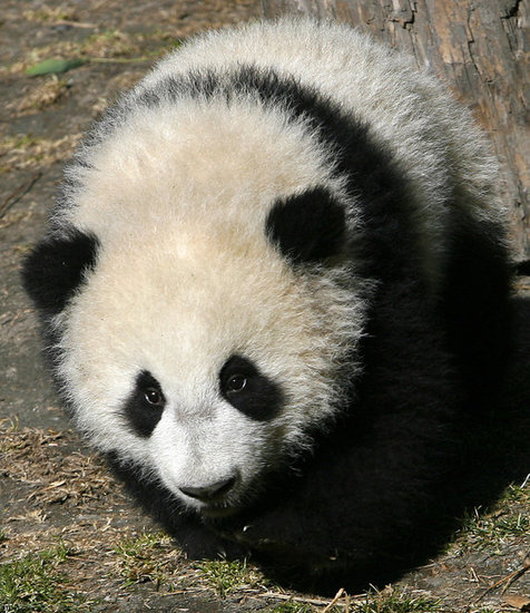 You could almost mistake this fuzzy panda babe for a stuffed animal!