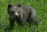 A brown bear cub soaked in the sunshine at a Croatian shelter for orphaned bears.
