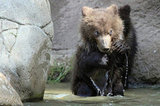 This cub may be tiny now, but Kamchatka bears are the largest subspecies of brown bears and can sometimes weigh over 2,000 pounds!