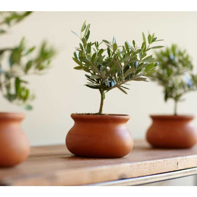 If you're looking to extend an olive branch this holiday season, there's no better way to do it than by gifting this Olive Plant Topiary ($49).