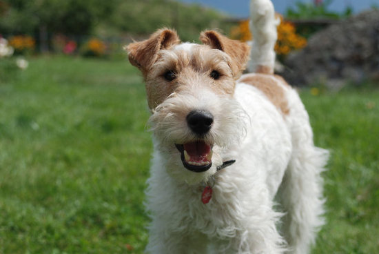 Best in Show: Wire Fox Terrier Wins 2012 National Dog Show