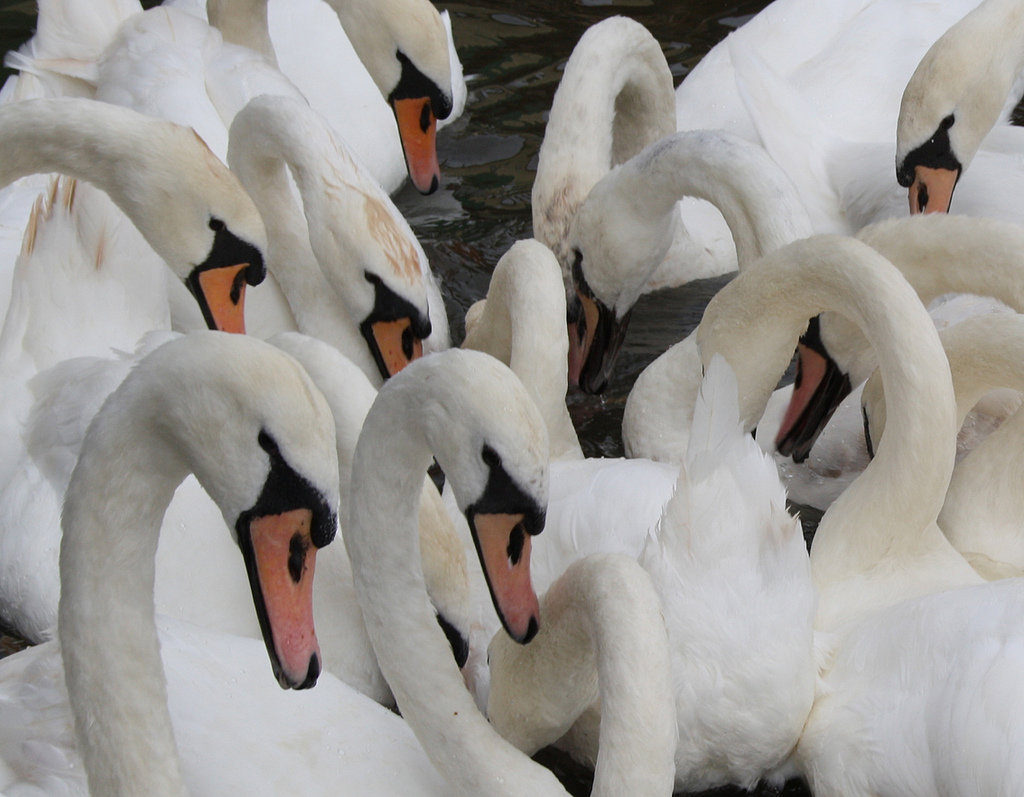 Swans can weigh up to 30 pounds and have a wingspan up to six to eight feet. Source: Flickr user ross_hawkes