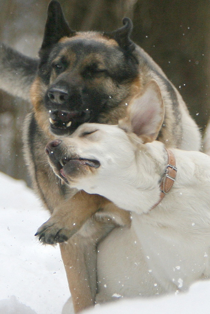A Yellow Lab nuzzled a German Shepherd at the Low Tatras National Park in Slovakia.