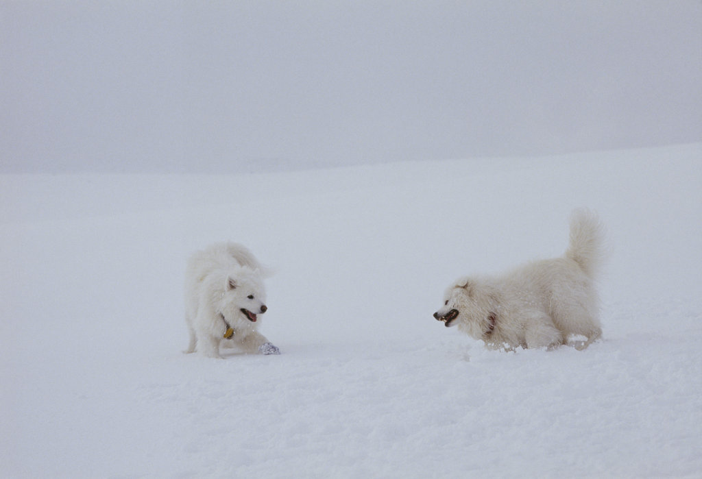 These two American Eskimo dogs blended in so much with their surroundings, their names should be Snowball and Snowflake.