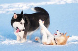 It wouldn't be an animals and snow gallery without Huskies!