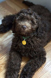 Software Engineer Allyson Schrader's dog, George, is a very photogenic Labradoodle.