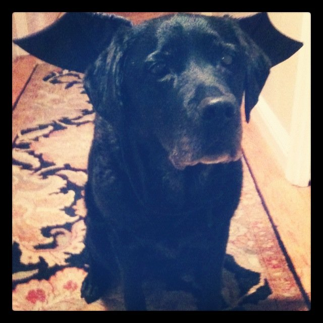 Account Coordinator Erica Tolda's Black Lab, Jazz, dressed up as an adorable bat for Halloween.