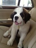 Senior Account Executive Carrie Cochran's St. Bernard puppy, Franklin, was ready to go for a ride.