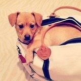 Lauren Conrad toted her new pup Fitz in a bag.  Source: Instagram user laurenconrad