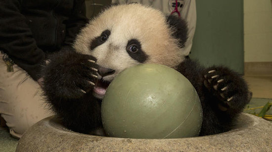 Baby Panda Finally Ready to Meet the Public (VIDEO)