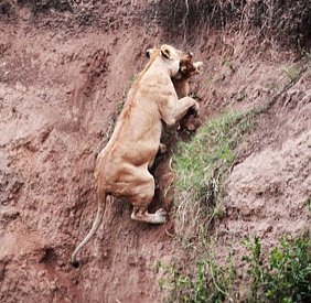 Lion Cub Rescued by his Mom as He Cries Out for Help (PHOTOS)