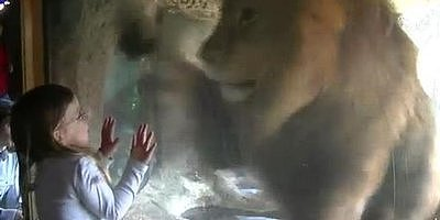 Sofia, Age 3, is Not Afraid of Lions (VIDEO)
