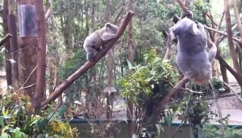Frightened Baby Koala Rescued By Its Mom