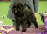Banana Joe, an Affenpinscher, appeared proud of his accomplishment.