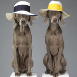 Acne Dog Photos For Spring 2013 by William Wegman