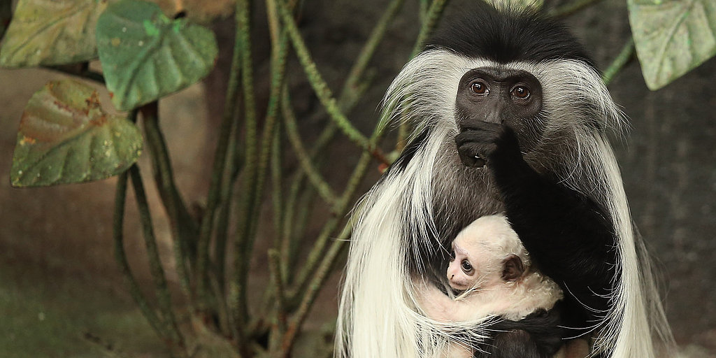 Baby Monkey! Meet the New Resident at the Brookfield Zoo