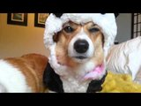Corgi in Panda Suit Is Not Amused