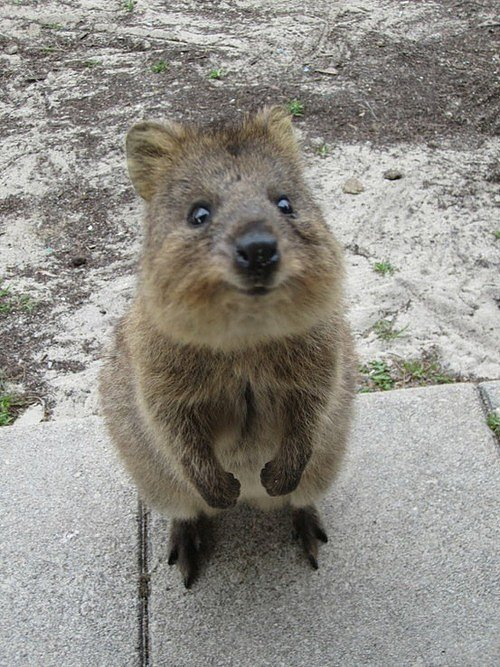 Quokkas are predominantly found on Rottnest Island, off the coast of Western Australia, and while they used to run rampant all over Southwestern Australia, their numbers on the mainland have dwindled. Source: Tumblr user Well Now Your Here You May as Well Look Around