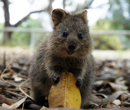 A quokka's diet consists of grasses, the leaves of small trees and shrubs, and succulent plants for moisture when water is scarce. Source: Tumblr user Right as Rain