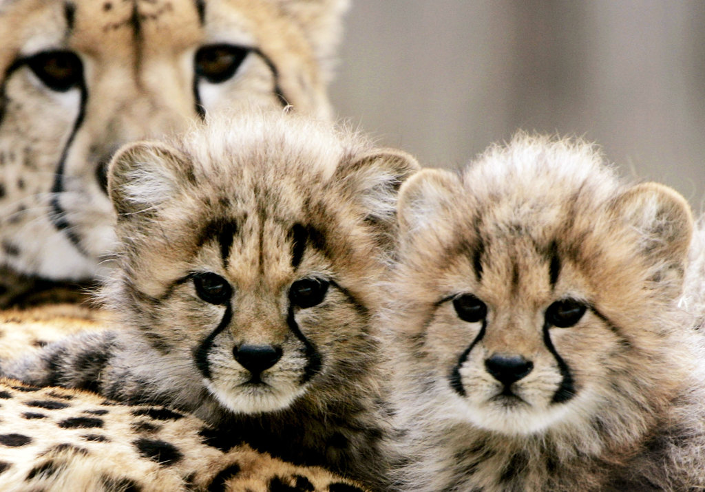 Cheetah Cats