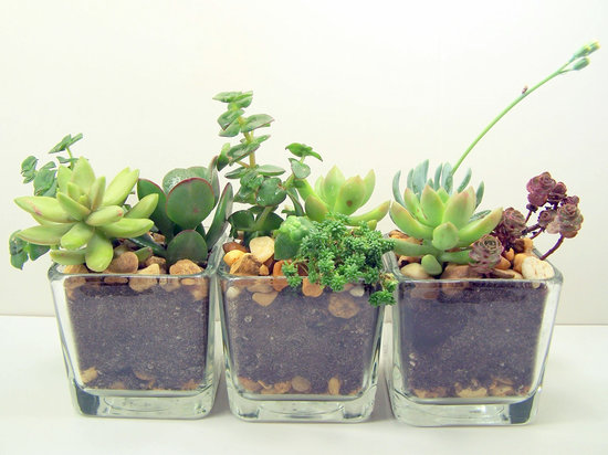 Mini Desk Succulents